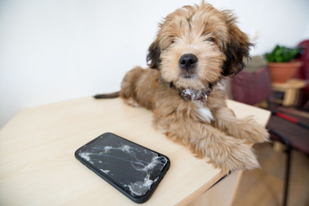 Broken and damaged smartphone with cracks on glass screen next to disobedient puppy. Accident. Dog has ruin and bitten the cell phone. Concept of warranty and lost smartphone 免版税图像 - 119718814