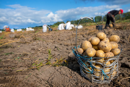 Wired, wicker basket full of freshly dug dirty new potatoes on field, ground during vegetable harvest in autumn. Farmers working on land at countryside, excavate crop of potatoes. Filled sacks.