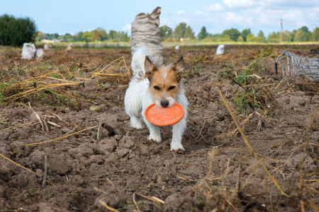 Smart and lovely, fluffy Jack Russell terrier sitting on potato harvest field in countryside, looking to its owner and willing to play, catch the ball or flying disk. Dog is full with energy