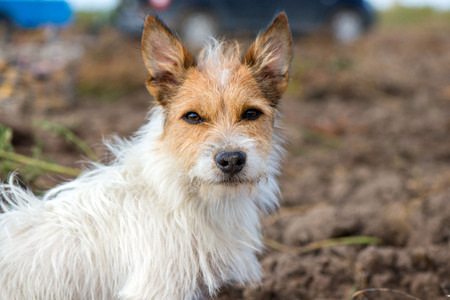 Smart and lovely, fluffy Jack Russell terrier sitting on potato harvest field in countryside, looking to its owner and willing to play, catch the ball. Dog is full with energy