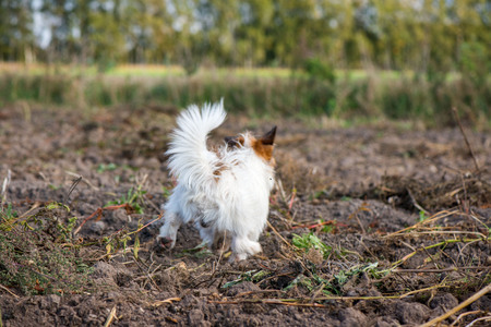 Smart and lovely, fluffy Jack Russell terrier sitting on potato harvest field in countryside, looking to its owner and willing to play, catch the ball . Dog is full with energy