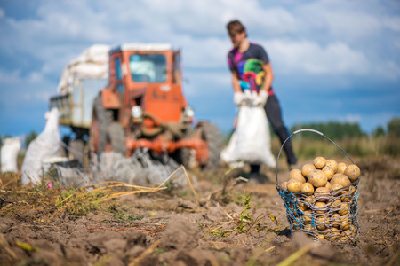 Wired, wicker basket full of freshly dug dirty new potatoes on field, ground during vegetable harvest in autumn. Farmers working on land at countryside, red tractor, excavate crop of potatoes.