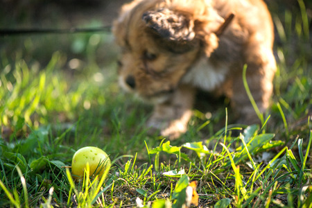 Little, lovely, fluffy, cute brown puppy playing outdoors with owner, obediently walking the first steps. Happy dog in the park or garden. Concept of discovering the world, everything is new