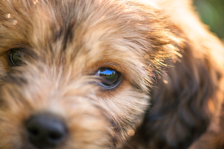 Macro shot of big black eye. Little, small, cute, fluffy, brown puppy. Concept of abandoned domestic animals and pets. Curious, obedient dog. Concept of discovering the world, everything is new