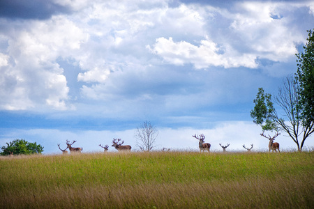 Beautiful young and adult mule red deer bucks (cervus elaphus) herd with growing antlers in the meadow on dramatic rain storm, cloudy sky background. Majestic animals in natural park.