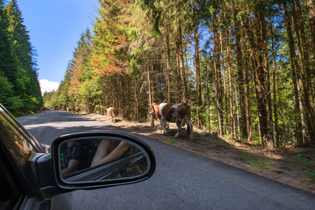 Cows on the forest road in Romania. Life in countryside. Dangerous situation on the highway Stock Photo
