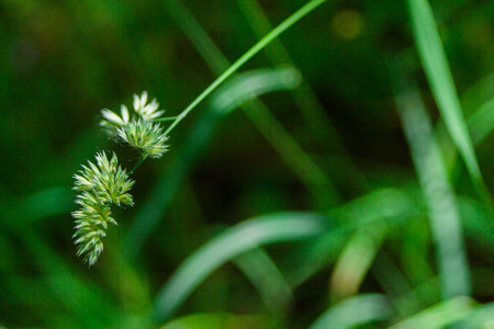 close up of flower heads of cock´s foot in meadoworchard grassblooming sweet grass