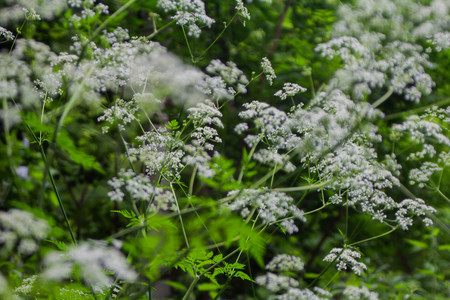 Wild carrots in a city park