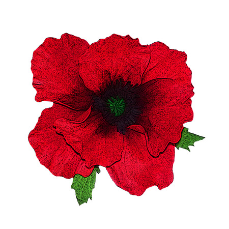 corn poppy: Red poppies flower on a white background  Poster