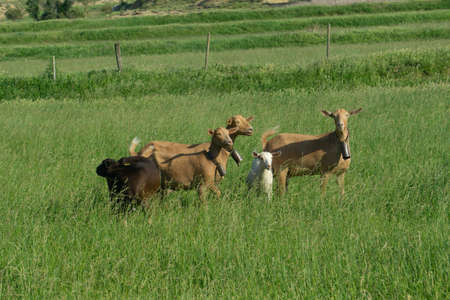 Group of goats, light brown, with a bell around a little white goat in a meadow of tall green grass, fenced at the top with a mesh and sticks