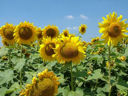 lot of sunflower on field