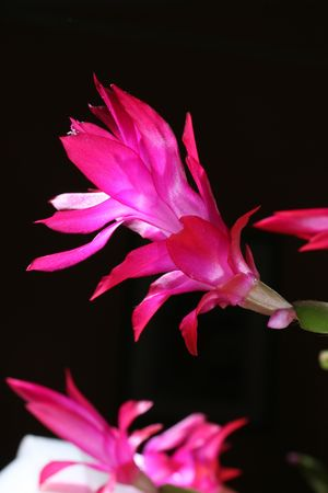 closeup image of flower which blooms in december only Stock Photo