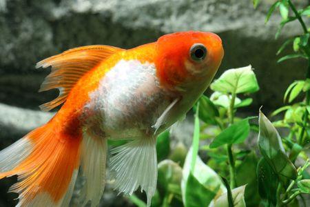 freshwater aquarium plants: closeup underwater image of freshwater aquarium goldfish
