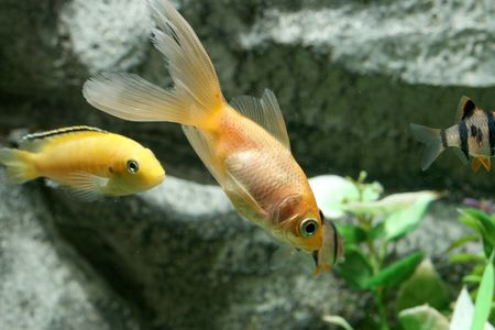 closeup image of freshwater aquarium goldfish with yelow fish Stock Photo - 4103032