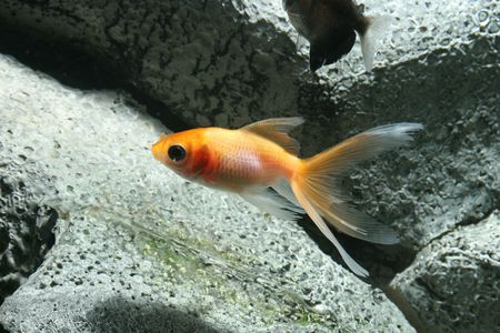 closeup underwater image of freshwater aquarium goldfish