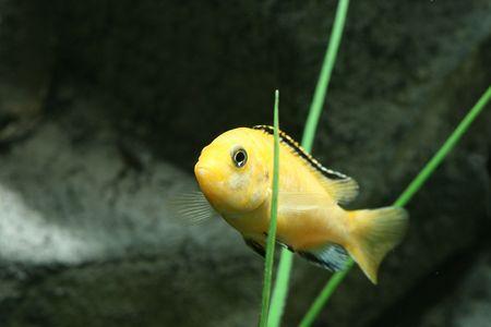aquarium eau douce: closeup de jaune sous l'image des poissons d'aquarium d'eau douce Banque d'images