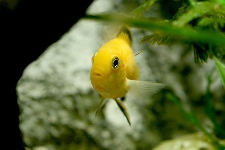 freshwater aquarium plants: closeup underwater image of yelow freshwater aquarium fish Stock Photo