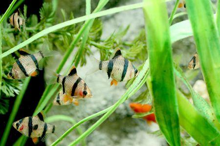 freshwater aquarium plants: closeup underwater image of couple tiger barb aquarium fishes