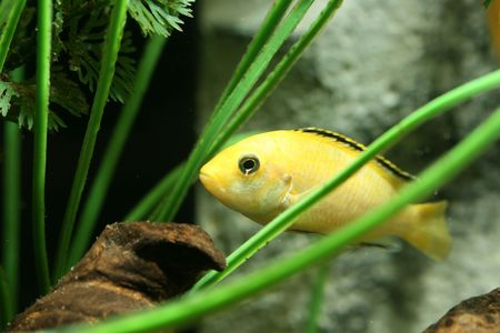 closeup underwater image of freshwater aquarium fish Stock Photo - 4119488