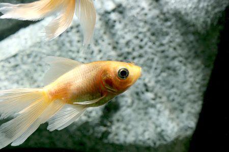 aquarium eau douce: closeup sous-image de l'eau douce aquarium poisson rouge