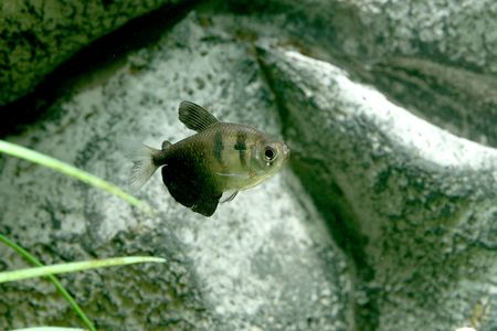 closeup underwater image of freshwater aquarium fish