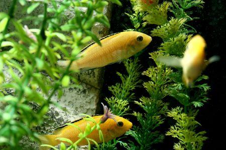 freshwater aquarium plants: closeup underwater image of freshwater fishes and plants Stock Photo