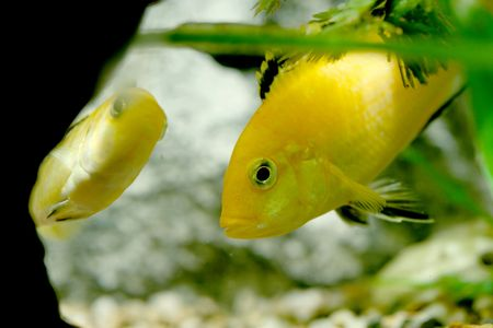 closeup underwater image of freshwater aquarium fishes
