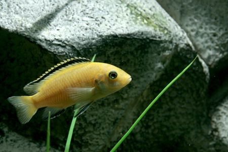 freshwater aquarium plants: closeup underwater image of freshwater aquarium fish