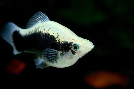 closeup image of gaudy freshwater aquarium fish Stock Photo - 4303120