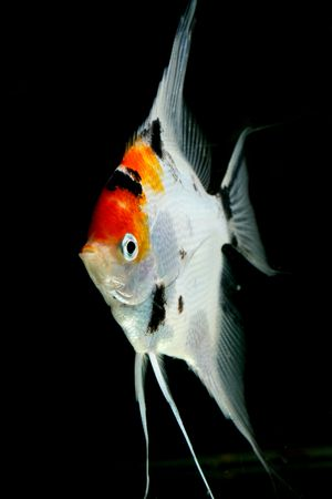 underwater closeup image of freshwater aquarium fish Stock Photo - 4303119