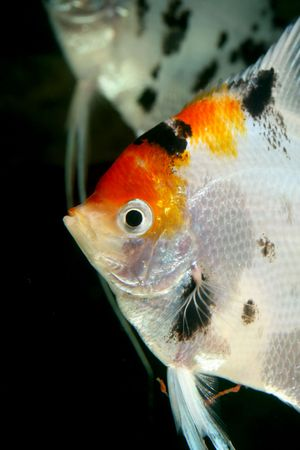 closeup image of head of nice freshwater aquarium fish Stock Photo
