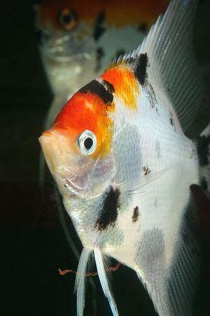 closeup image of nice head of aquarium fish Stock Photo - 4303144