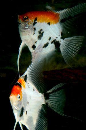 closeup underwater image of two freshwater aquarium fish