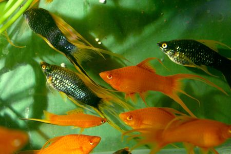 closeup image of more freshwater aquarium fishes Stock Photo - 4325635