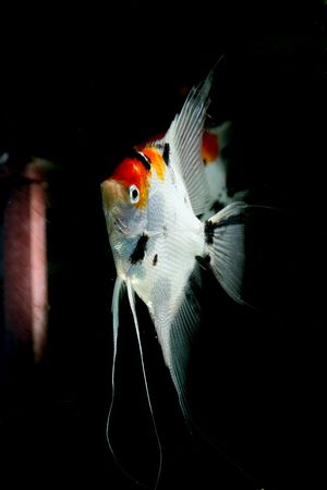 closeup image of nice freshwater aquarium fish