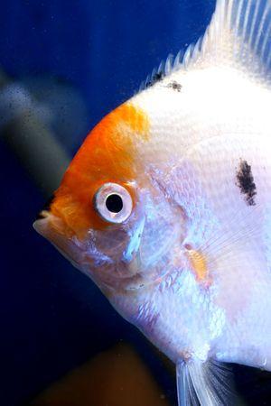 aquarium eau douce: closeup belle image de poissons d'aquarium d'eau douce