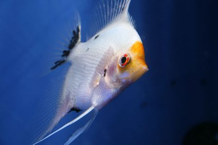 closeup image of nice freshwater aquarium fish