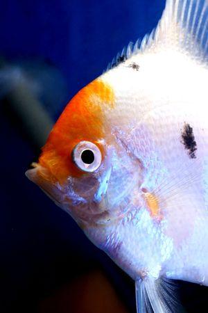 closeup image of head of freshwater aquarium fish