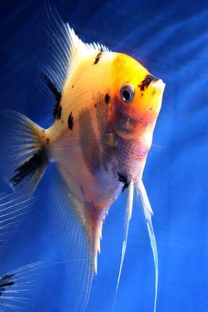 closeup image of nice colored aquarium fish Stock Photo - 4353462
