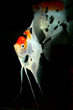 closeup image of two nice aquarium fish Stock Photo - 4353455