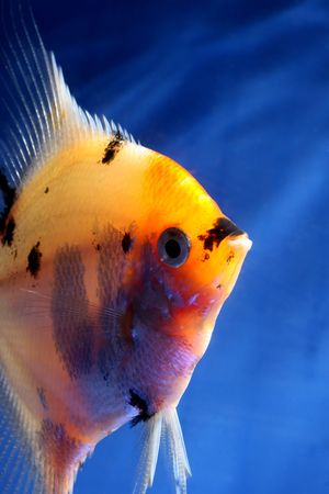 closeup image of nice aquarium fish in blue water Stock Photo