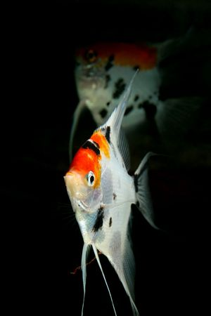 closeup image of nice aquarium fish couple Stock Photo - 4353454