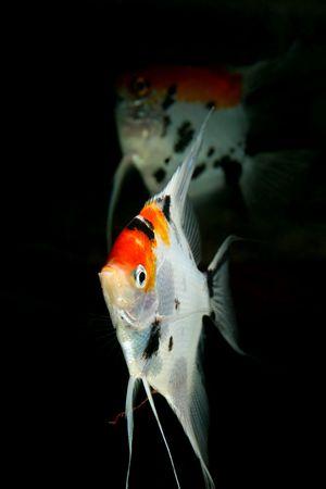 closeup image of nice aquarium fish couple