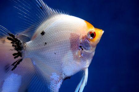 closeup image of nice female aquarium fish