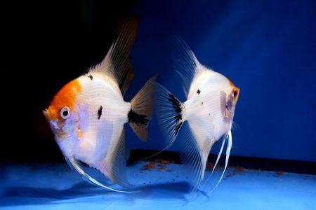 closeup image of nice aquarium fish couple Stock Photo - 4353459