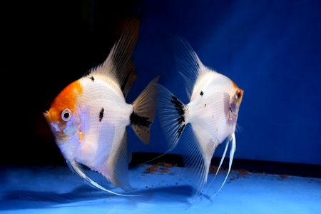closeup image of nice aquarium fish couple Stock Photo - 4353459