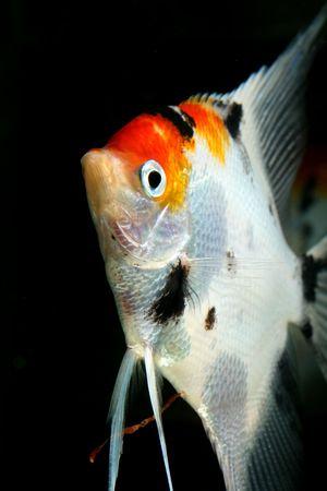closeup image of aquarium fish with colors like german flag Stock Photo