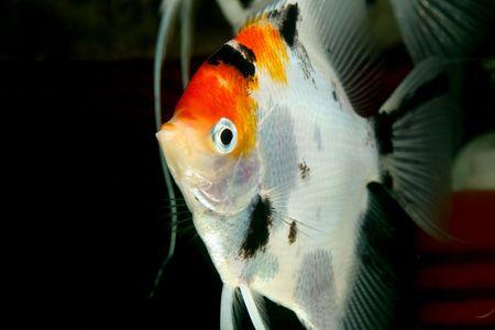 closeup image of nice colored aquarium fish Stock Photo
