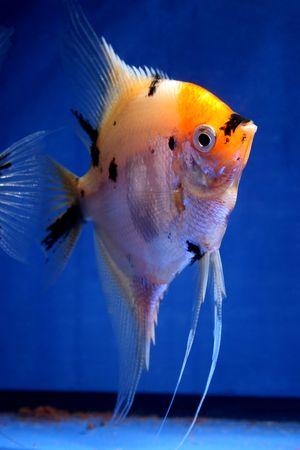 closeup image of nice freshwater aquarium fish Stock Photo - 4378760