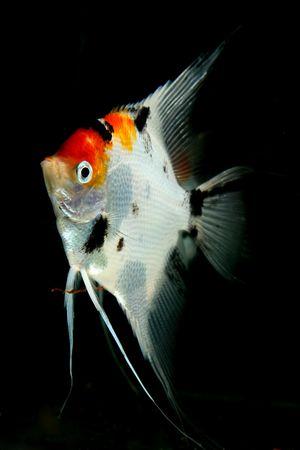 closeup image of male freshwater aquarium fish